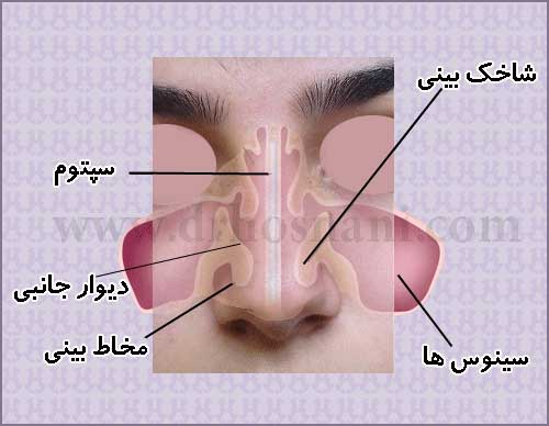 internal anatomy of nose